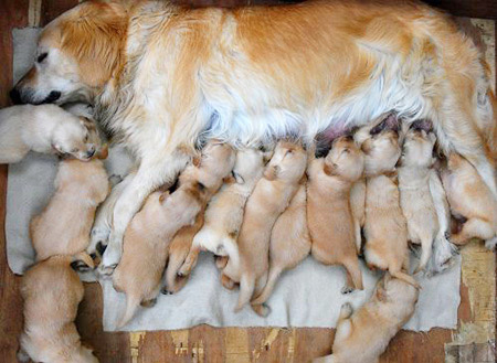 Angels_mom_with_15_pups
