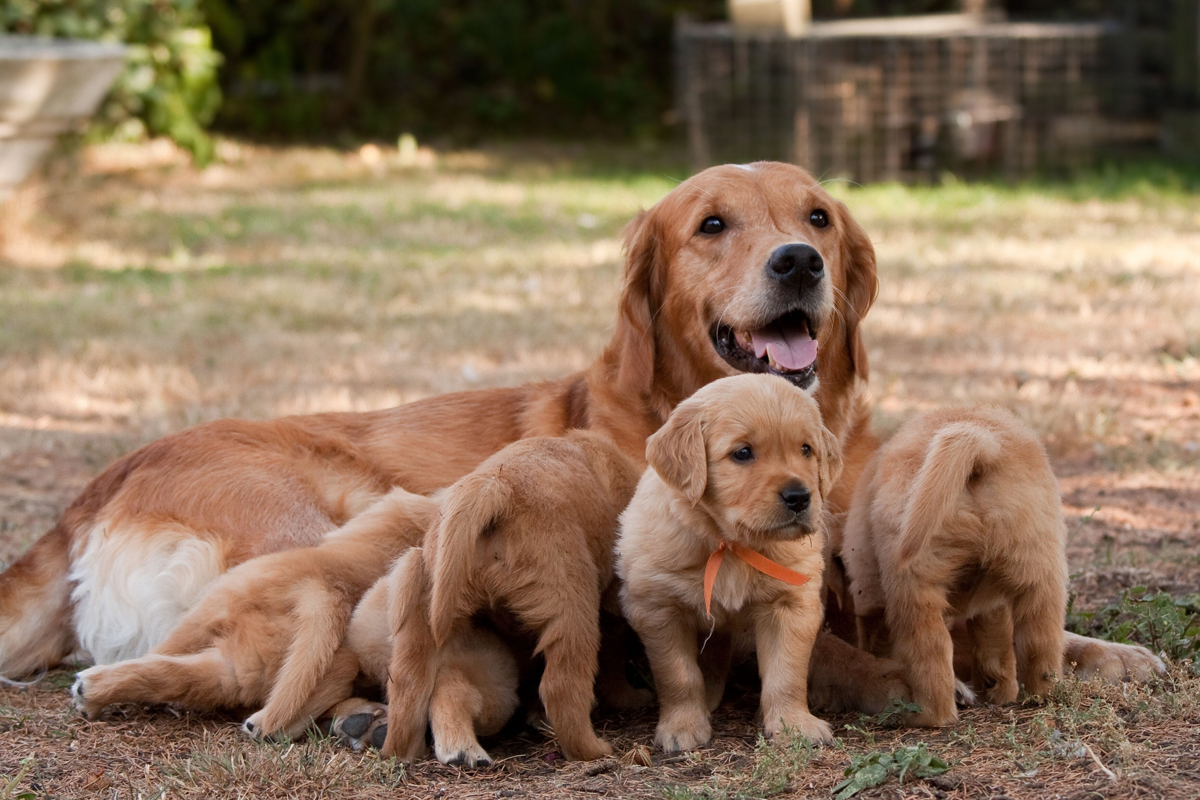 cute-picture-golden-retriever-puppies-and-mother-dog-in-field