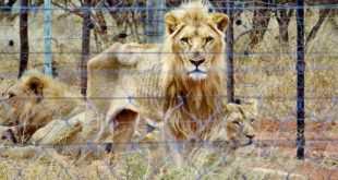 Shocking discovery - 250 lions starving on Thursday!