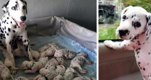 Dalmatian gave birth 18 puppies, But the last is the most special …