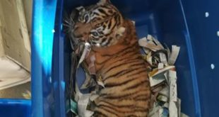 Police find baby tiger was mailed a box