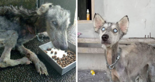 (Video) Husky poorly treated was rescued.. You will not believe this transformation..