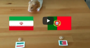 Video: Hamster already predicted the outcome of Portugal - Iran, and could not be cuter